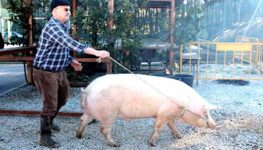 Souto Maior celebra a IV Feira Tradicional da Matança do Porco