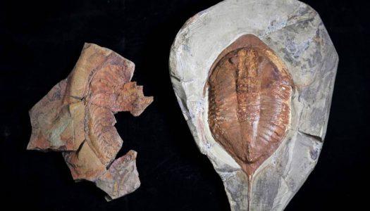 Descobertos fósseis de trilobites com 478 milhões de anos