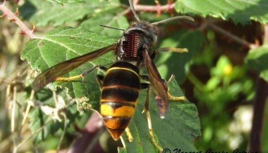 """""""GoVespa"""" aplica novas tecnologias para travar vespa velutina"""
