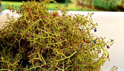 Investigação do CITAB – UTAD estuda benefícios do engaço de uva na cura de feridas do Pé Diabético